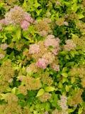 Λουλούδια Πενσυλβανία στοκ εικόνα