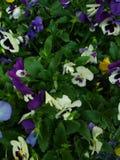 Λουλούδια Πενσυλβανία στοκ φωτογραφία