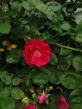 Λουλούδια Πενσυλβανία στοκ φωτογραφίες