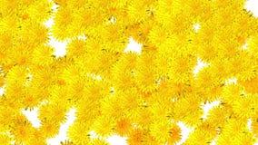 Λουλούδια πικραλίδων που αφορούν κάτω το άσπρο υπόβαθρο απόθεμα βίντεο