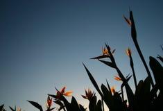 Λουλούδια πουλιών του παραδείσου που αυξάνονται στον ουρανό Στοκ εικόνες με δικαίωμα ελεύθερης χρήσης