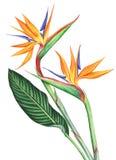 Λουλούδια πουλιών Watercolor του παραδείσου που απομονώνονται στο άσπρο υπόβαθρο Στοκ εικόνα με δικαίωμα ελεύθερης χρήσης