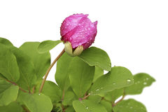 λουλούδια που απομονώνονται Στοκ Εικόνα