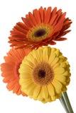 λουλούδια που απομονώνονται Στοκ Φωτογραφίες