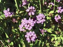 Λουλούδια πυραύλων Dame's στοκ εικόνα