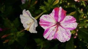 λουλούδια ριγωτά στοκ φωτογραφία