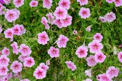 Λουλούδια, ρόδινα λουλούδια που ανθίζουν στο θερμό χειμερινό ήλιο Στοκ Φωτογραφία