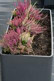 Λουλούδια ρόδινου Calluna vulgaris στο δοχείο στοκ εικόνες
