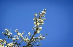 Λουλούδια σε έναν κλάδο Apple-δέντρων Στοκ Εικόνες