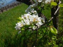 Λουλούδια στα δέντρα στις πεδιάδες Στοκ Εικόνες