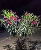 Λουλούδια στη νύχτα στοκ φωτογραφίες με δικαίωμα ελεύθερης χρήσης