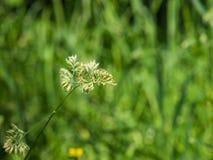 Λουλούδια στον κόκκορα ` s-foot ή κινηματογράφηση σε πρώτο πλάνο glomerata Dactylis χλόης γατών με το πράσινο υπόβαθρο bokeh, εκλ Στοκ Εικόνες