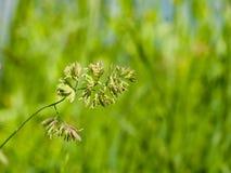 Λουλούδια στον κόκκορα ` s-foot ή χλόη γατών, glomerata Dactylis, κινηματογράφηση σε πρώτο πλάνο με το πράσινο υπόβαθρο bokeh, εκ Στοκ φωτογραφίες με δικαίωμα ελεύθερης χρήσης
