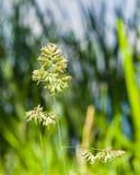 Λουλούδια στον κόκκορα ` s-foot ή χλόη γατών, glomerata Dactylis, κινηματογράφηση σε πρώτο πλάνο με το πράσινο υπόβαθρο bokeh, εκ Στοκ Φωτογραφία