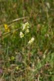 Λουλούδια στον κόκκορα ` s-foot ή χλόη γατών, glomerata Dactylis, κινηματογράφηση σε πρώτο πλάνο με το πράσινο υπόβαθρο bokeh, εκ Στοκ εικόνα με δικαίωμα ελεύθερης χρήσης
