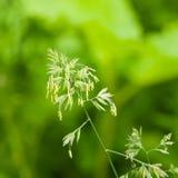 Λουλούδια στον κόκκορα ` s-foot ή χλόη γατών, glomerata Dactylis, κινηματογράφηση σε πρώτο πλάνο με το πράσινο υπόβαθρο bokeh, εκ Στοκ Φωτογραφίες