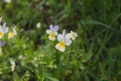 Λουλούδια στο πεδίο Άγρια φύση μια ηλιόλουστη ημέρα Τα λουλούδια που αυξάνονται στην πράσινη χλόη και δίνουν τη χαρά σε όλα Στοκ Εικόνες