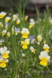 Λουλούδια στο πεδίο Άγρια φύση μια ηλιόλουστη ημέρα Τα λουλούδια που αυξάνονται στην πράσινη χλόη και δίνουν τη χαρά σε όλα Στοκ φωτογραφία με δικαίωμα ελεύθερης χρήσης