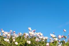 Λουλούδια στο υπόβαθρο του μπλε ουρανού Άγρια βόρεια λουλούδια anemones που ανθίζουν την άνοιξη ή θερινή περίοδο στο Γιακουτία, Σ στοκ φωτογραφία με δικαίωμα ελεύθερης χρήσης