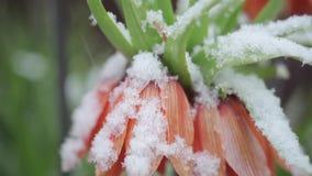 Λουλούδια στο χιόνι φιλμ μικρού μήκους