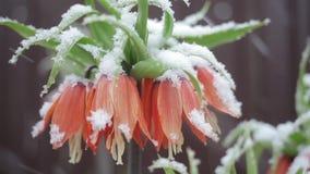Λουλούδια στο χιόνι απόθεμα βίντεο