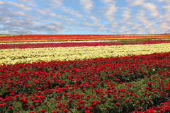 λουλούδια ταπήτων Στοκ Φωτογραφία
