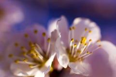 Λουλούδια της ανθίζοντας κινηματογράφησης σε πρώτο πλάνο δέντρων Άσπρη κινηματογράφηση σε πρώτο πλάνο λουλουδιών ενάντια σε έναν  Στοκ Φωτογραφίες