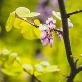 Λουλούδια της ανθίζοντας ρόδινης ακακίας Στοκ Φωτογραφία