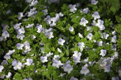Λουλούδια της Βερόνικα που ανθίζουν υπαίθρια την άνοιξη στοκ εικόνες με δικαίωμα ελεύθερης χρήσης