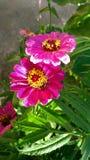 Λουλούδια της Ινδίας Στοκ φωτογραφία με δικαίωμα ελεύθερης χρήσης