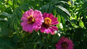Λουλούδια της Ινδίας στοκ εικόνα με δικαίωμα ελεύθερης χρήσης