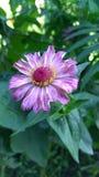Λουλούδια της Ινδίας στοκ φωτογραφίες με δικαίωμα ελεύθερης χρήσης