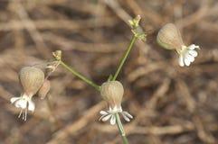 Λουλούδια της λυχνίδας κύστεων στοκ φωτογραφία