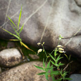 Λουλούδια της λυχνίδας κύστεων, Silene vulgaris στοκ εικόνες