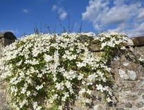 Λουλούδια της Μοντάνα Clematis Στοκ Εικόνα