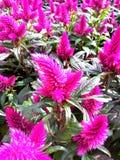 Λουλούδια της Νίκαιας Cyclamen στον κήπο στοκ εικόνες