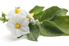 Λουλούδια της πατάτας που απομονώνεται στο λευκό Στοκ φωτογραφίες με δικαίωμα ελεύθερης χρήσης