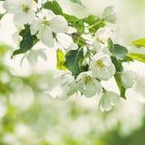 Λουλούδια της Apple άνοιξη, πράσινα φύλλα και αφηρημένο φως Bokeh Στοκ φωτογραφία με δικαίωμα ελεύθερης χρήσης