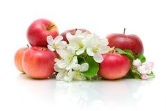 Λουλούδια της Apple και κόκκινα μήλα σε μια άσπρη ανασκόπηση Στοκ Εικόνα