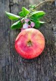 Λουλούδια της Apple και κόκκινο ώριμο μήλο Στοκ Φωτογραφίες