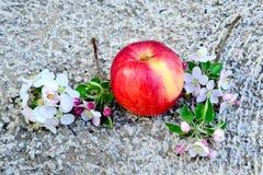 Λουλούδια της Apple και κόκκινο ώριμο μήλο Στοκ εικόνες με δικαίωμα ελεύθερης χρήσης