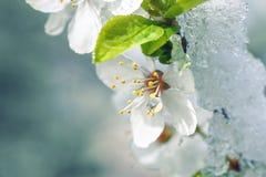 Λουλούδια της Apple που καλύπτονται με το χιόνι Στοκ εικόνες με δικαίωμα ελεύθερης χρήσης