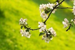 Λουλούδια της Apple στην αφηρημένη θολωμένη ανασκόπηση Στοκ φωτογραφία με δικαίωμα ελεύθερης χρήσης