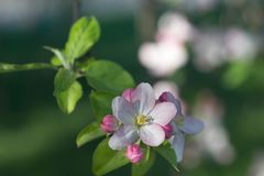 Λουλούδια της Apple στη μακροεντολή κλάδων Στοκ εικόνα με δικαίωμα ελεύθερης χρήσης