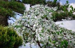 Λουλούδια της Apple στον κήπο σε Akita, Ιαπωνία Στοκ Εικόνες