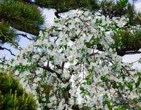 Λουλούδια της Apple στον κήπο σε Akita, Ιαπωνία Στοκ φωτογραφία με δικαίωμα ελεύθερης χρήσης