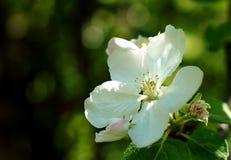 Λουλούδια της Apple στον κλάδο Στοκ Φωτογραφία