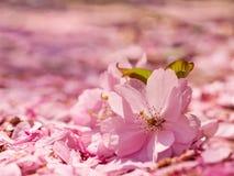 Λουλούδια της Apple στο έδαφος που καλύπτεται με τα πέταλα Στοκ Εικόνες