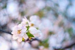 Λουλούδια της Apple στο δέντρο Στοκ Εικόνες