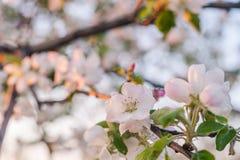 Λουλούδια της Apple στο δέντρο Στοκ φωτογραφίες με δικαίωμα ελεύθερης χρήσης
